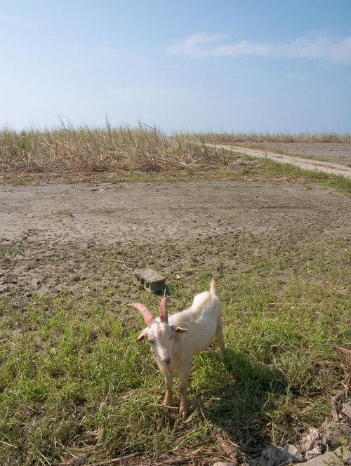 日本最南端のヤギ(推測)