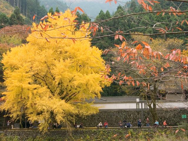 対岸の黄葉