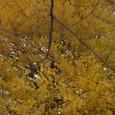 国立の黄葉