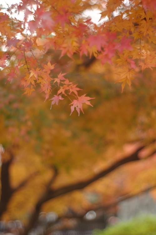 大学通りの紅葉