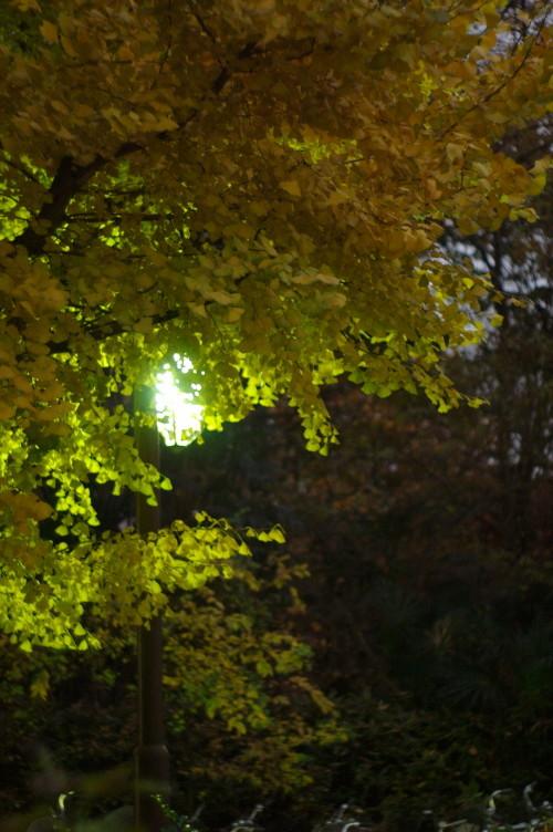 街灯に照らされるイチョウ
