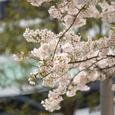 桜の風景・その2