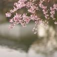 桜の風景・その3