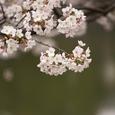 桜の風景・その6