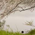桜の風景・その10