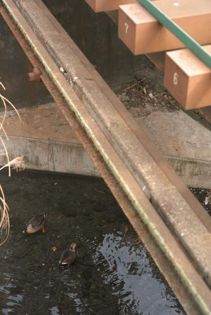 橋のしたの鴨