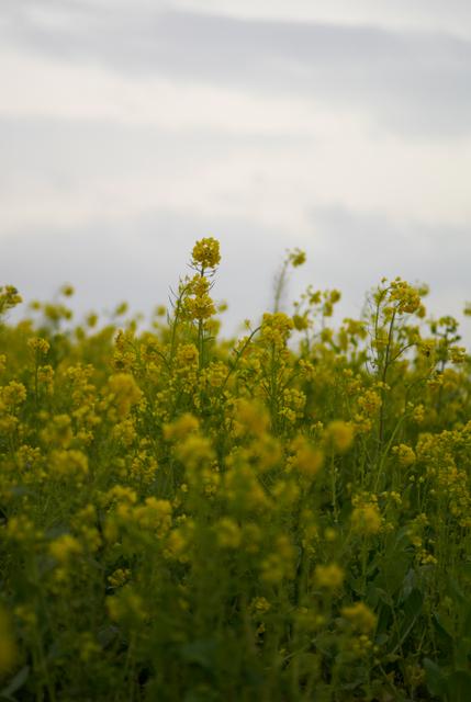 菜の花・その1