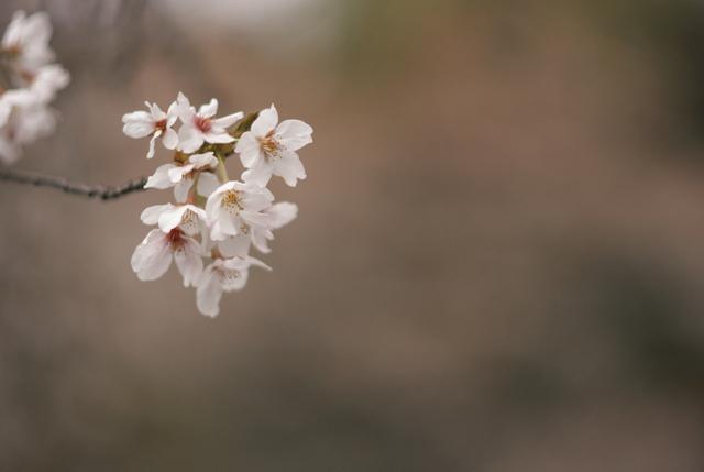 桜の風景・その1