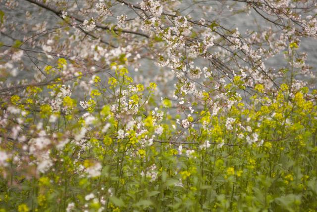 桜と菜の花と…