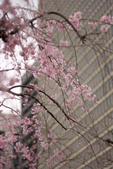 桜の風景・その4