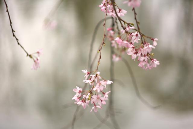 桜の風景・その5