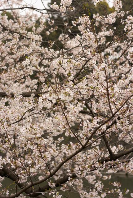 桜の風景・その7