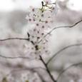 桜の風景・その11