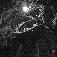 夜の桜・その3