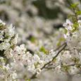 鎌倉の桜・その3