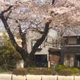国立の桜・その1