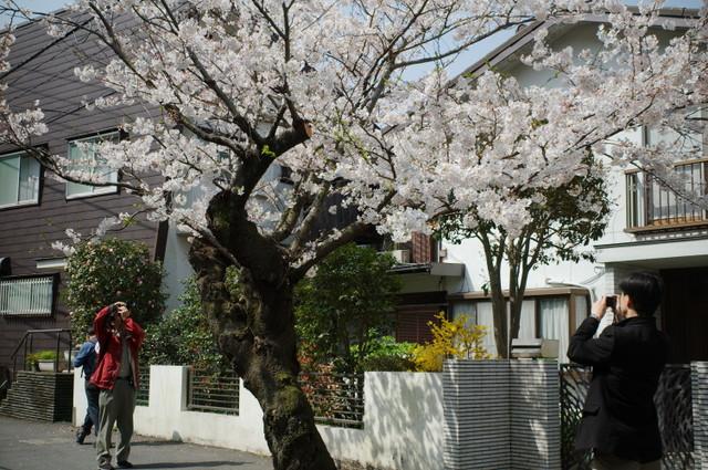 鎌倉の桜・その2