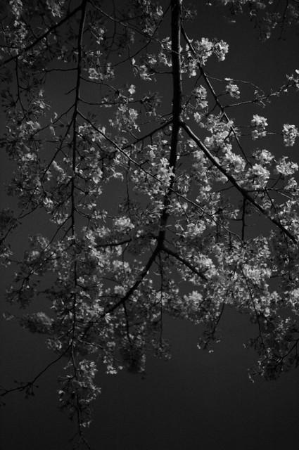 夜の桜・その1