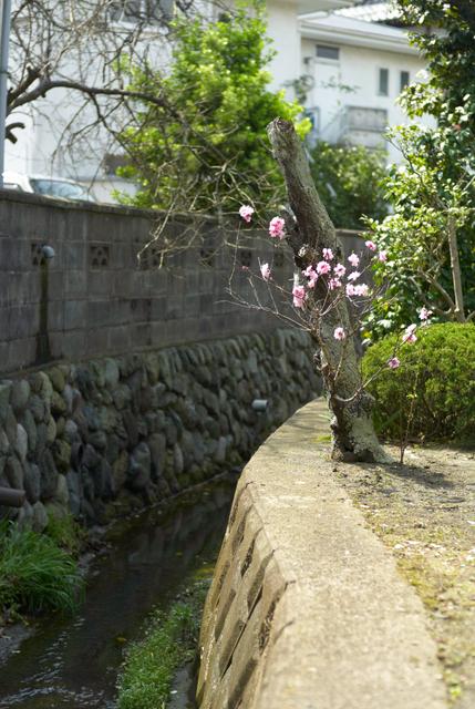 鎌倉の桜・その4