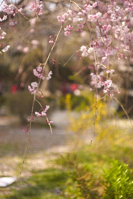 国立の桜・その3