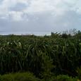 ドラゴンフルーツ畑