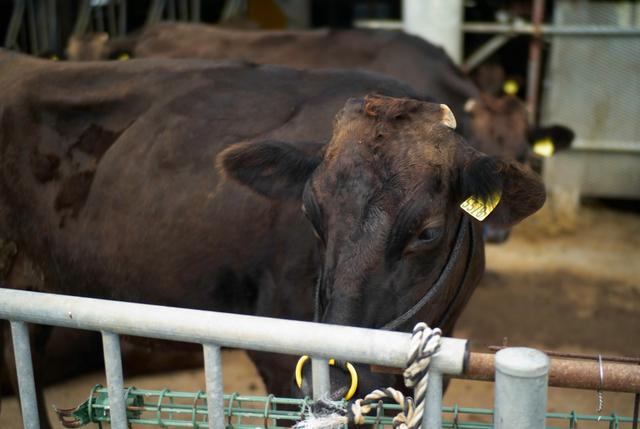 久米島牛…では、たぶん、ない