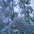 鎌倉の桜・その1
