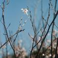 桜一輪・その1