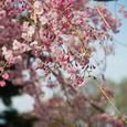 国分寺の桜・その1