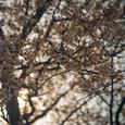 国分寺の桜・その2