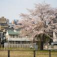 国分寺の桜・その3