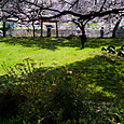 桜の天井、緑の絨毯