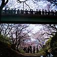 桜の下の橋