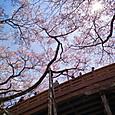 桜の下の橋2