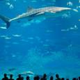 遊覧ジンベイ鮫